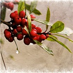 Winter Berries 1