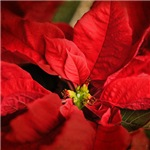 Red Poinsettia 2