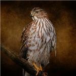 Red Shouldered Hawk Portrait 1