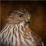 Cooper's Hawk Portrait 2