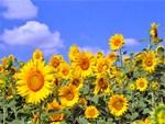 Flowers: Sun Flower