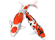 Two Varieties of Koi