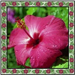Pink Hibiscus with Border