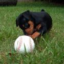 Miniature Pinscher Pup
