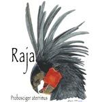 Raja the Black Palm Cockatoo