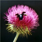 Thistle Blossom Bee