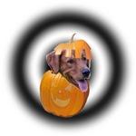 GOLDEN RETRIEVER Dog in a Pumpkin