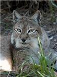 Siberian Lynx Children's Clothing