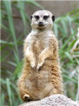 Lots of Meerkat Photos