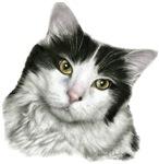Pierre - Black and White Domestic Cat
