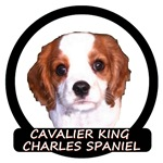 Cavalier Puppy