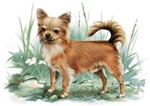 Chihuahua,long hair
