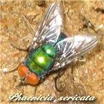 Phaenieia sericata
