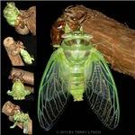 Metamorphosis of Cicadas