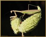 Praying Mantis & Seed Pods
