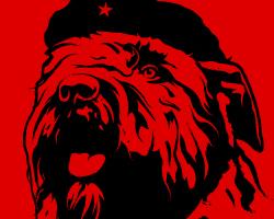 Bouvier Revolution