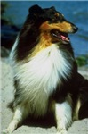 Rough Collie Photo
