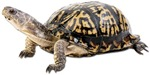 Ornate Box Turtle Photo