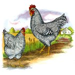 Antique Chicken Illustration