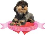 Wirehaired Dachshund Valentine