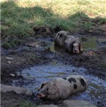 Muddy Piggies