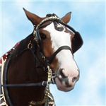 Clydesdale Horse T-Shirts and Gifts.