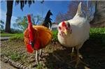 Just Chickens