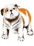 Cute Bull Dog Puppy