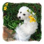 Springtime Bichon