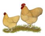 Orpington Lemon Cuckoo Chickens