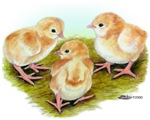 Cornish White-laced Red Chicks