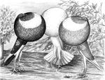 Norwich Cropper Pigeons