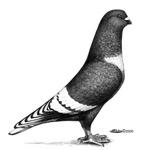 Lebanon Pigeon