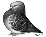 Show Roller Pigeon