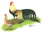 Golden Phoenix Bantams