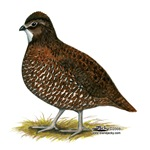 Tennessee Red Quail