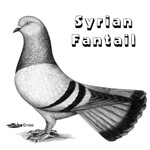 Syrian Fantail Pigeon