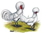 white Polish Chickens