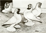 Moorhead Pigoens