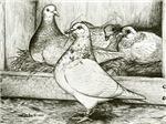 Texan Pioneer Pigeons
