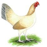 Blue Wheaten Hen