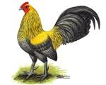 Lemon Blue OE Cock