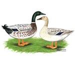 Snowy Mallard Ducks