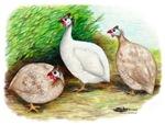 Guineafowl Trio2