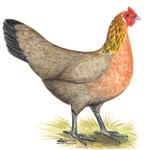 Red Junglefowl Hen