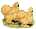 Buff Silkie Chickens