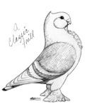 A Classic Frill Pigeon