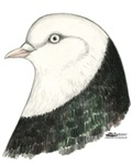 West of England Pigeon