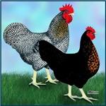 Black Sex-link Fowl