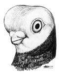 Elbinger Shortface Pigeon